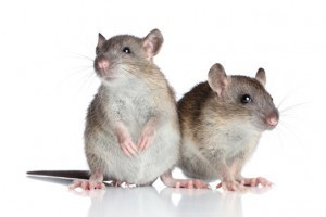 rodent and mice infestation newcastle