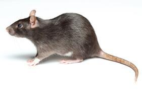 rats and mice infestation control newcastle